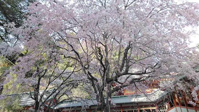 見事な枝垂れ桜♪